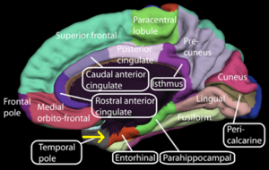 300px-Medial_surface_of_cerebral_cortex_-_entorhinal_cortex