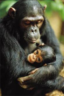 mother_baby_chimpanzee